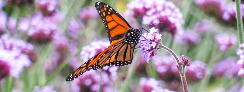 The Rosalynn Carter Butterfly Trail: Creating Beauty and Habitat For Monarchs 1