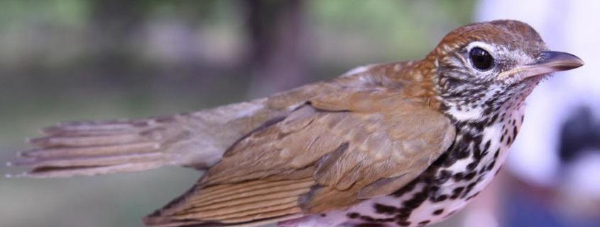 Wood Thrush lives in shade-grown coffee farms.