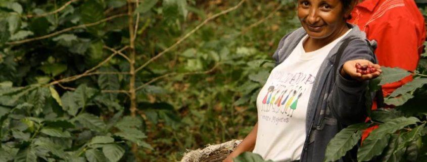 Julia Salinas of LA FEM harvests ripe coffee cherries in Nicaragua. Photo by Julia Baumgartner for Cafe Campesino. September 2012