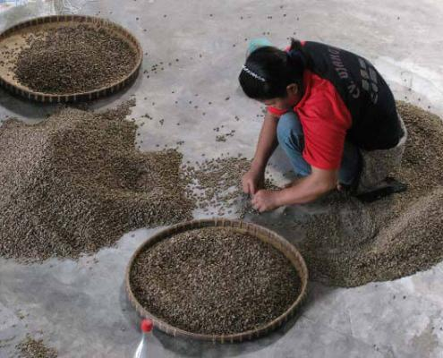 Sumatran woman sorting green coffee at Permata Gayo.