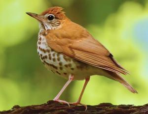 Save the Wood Thrush: Drink Shade-grown Coffee 2